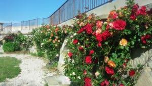 rose domaine Abbé Saunière